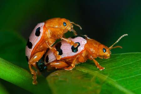 nude outdoors: Love-making ladybugs couple Stock Photo