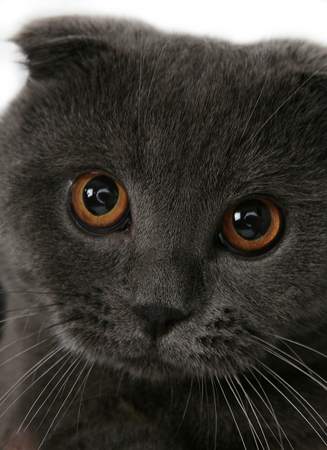 Portrait of a gray cat looking at the camera on a white background. The Scottish Fold.