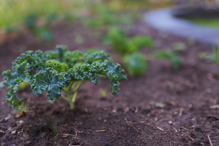 Kale plant growing in a garden bed