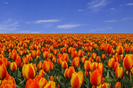 netherlands: Big field of colorful orange with yellow tulips and clear blue sky