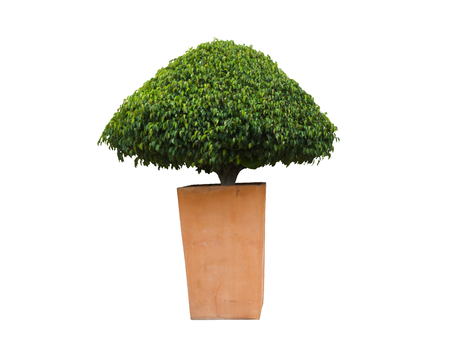 Ficus plant of almost triangle shape in a light brown square pot, isolated, on white background