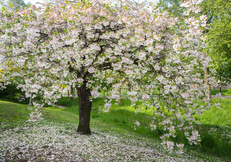 A tree in spring covered with a lot of white flowers many white a tree in spring covered with a lot of white flowers many white petals mightylinksfo