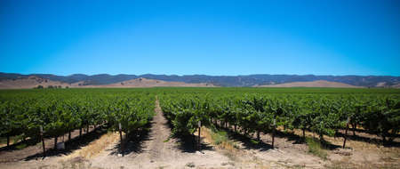 californian: Californian Wineyards Stock Photo