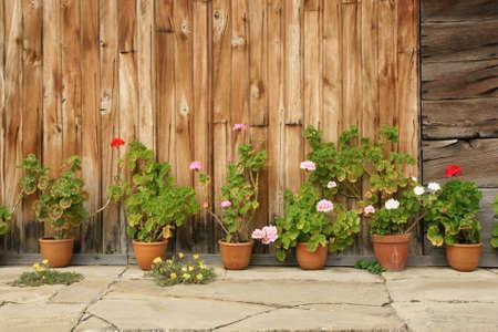 geranium flowers photo