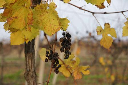 forgot: forgot grapes 13