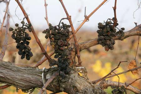 forgot: forgot grapes 14 Stock Photo