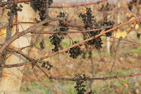 forgot: forgot grapes 15 Stock Photo