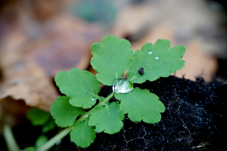 Wet green leaves celandine with drops of water early morning autumn in forest Stockfoto
