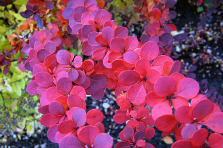 Berberis thunbergii Red Carpet ornamental perennial foliage - natural background. color palette scheme with complementary swatches Reklamní fotografie