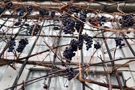 bunches of isabella grapes close up Banco de Imagens