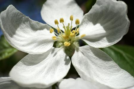 Ramita de flor de manzano, Malus sylvestris