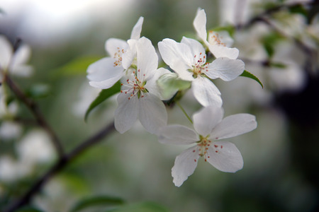 Sprig of Apple Blossom, Malus sylvestris