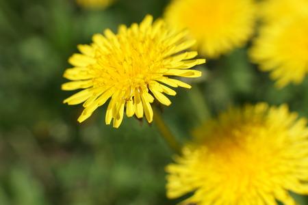 Gelber Löwenzahn blüht Taraxacum officinale. Löwenzahnfeldhintergrund am sonnigen Frühlingstag. Blühender Löwenzahn.