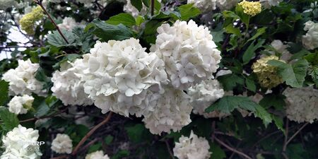 Blooming white hydrangeas close up photo Reklamní fotografie - 124682268
