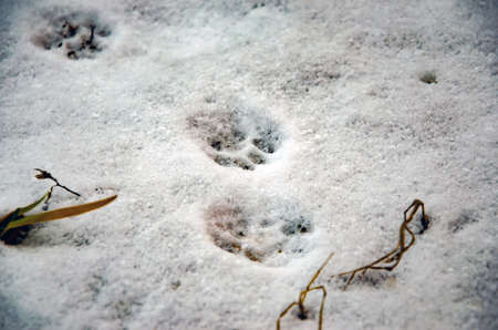 cat footprint on snow close-up selective focus Stock Photo