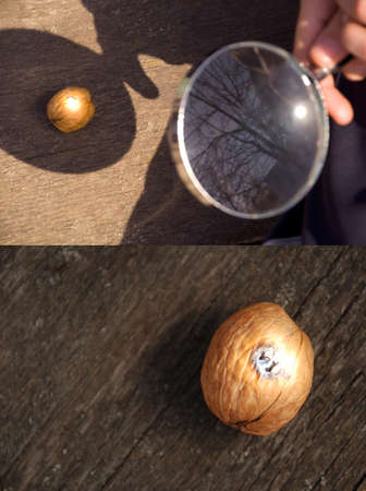 Hand with a magnifying glass burning walnut. Two types of Фото со стока