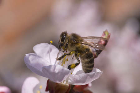 Bee on white flower. Collecting the pollen photo