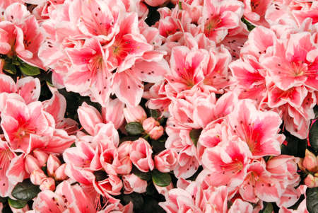 considerable: Flower background  A considerable quantity of pink colours Stock Photo