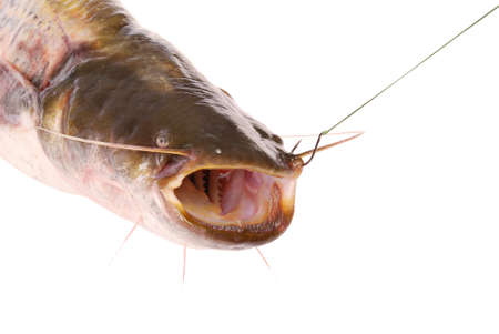 Catfish on the hook isolated on white. Clipping path inside. photo