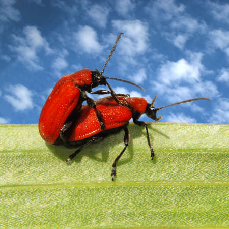 animal sex: Loving each other red beetles on green leaf Stock Photo