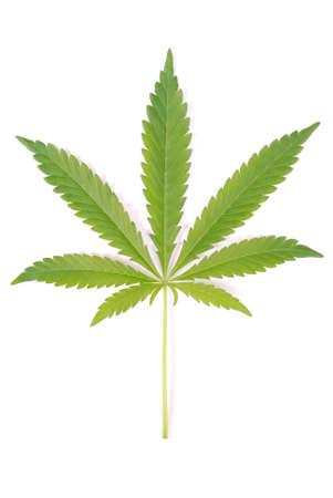 麻 (大麻) の白い背景で隔離 写真素材