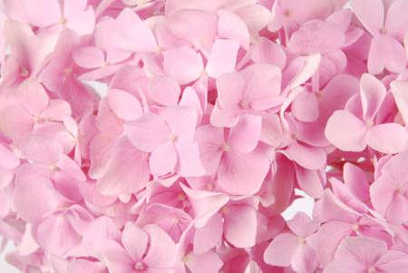 美しいピンクのアジサイの花の背景。自然な色。