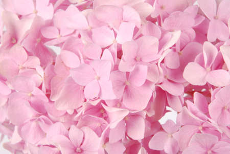 Beautiful Pink hydrangeas flower background. Natural color. Stock Photo - 36095024