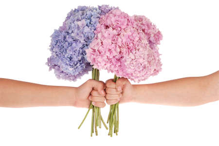 Pink and blue flower hydrangea in hands on white background. Clipping path inside Stock Photo