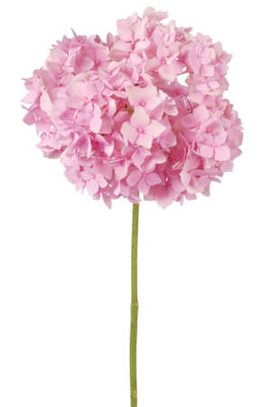 lilac: Pink flower hydrangea  on white background. Clipping path inside Stock Photo