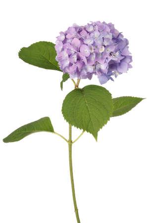 flores moradas: Purple flower hydrangea on white background. Clipping path inside