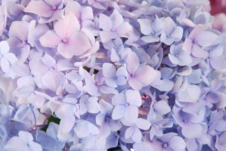 美しい紫色のアジサイの花の背景。自然な色。