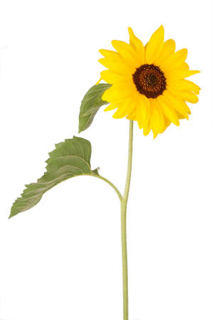 Beautiful sunflower isolated on white Фото со стока