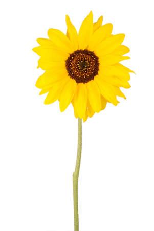 girasol: Girasol hermoso aislado en blanco