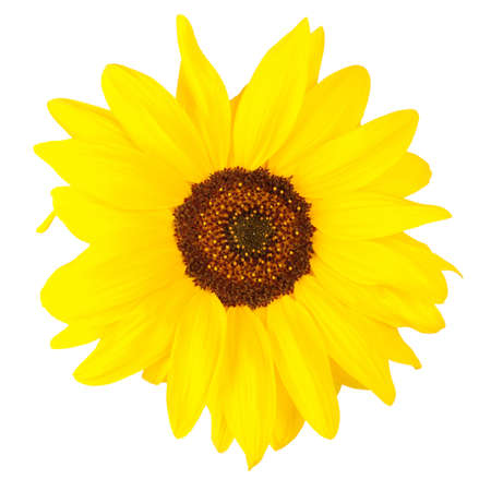 sepals: Beautiful sunflower isolated on white. Close-up