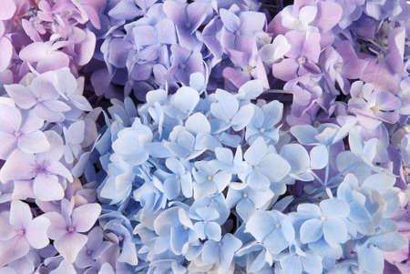 美しい青い紫陽花の花背景。自然な色。