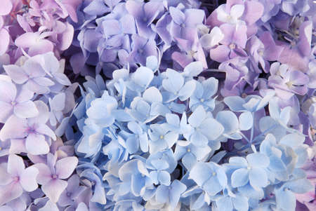 Beautiful blue hydrangeas flower background. Natural color.