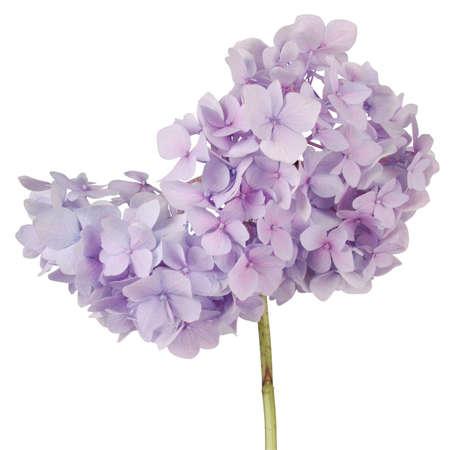 mauve: Purple flower hydrangea on white background.