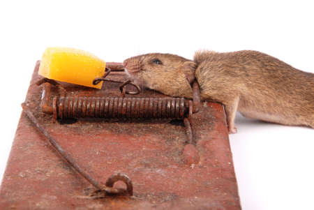 Mousetrap with dead mouse isolated on white