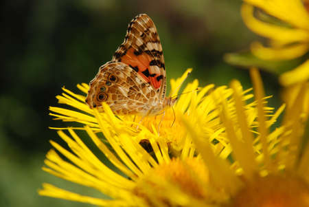 pollinate: Butterfly sits on a flower drink nectar from yellow flowers and pollinate them