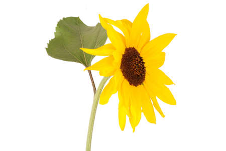Beautiful sunflower isolated on white. Close-up
