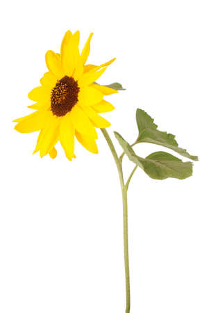 Beautiful sunflower isolated on white Stock Photo