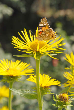 Butterfly sits on a flower drink nectar from yellow flowers and pollinate them