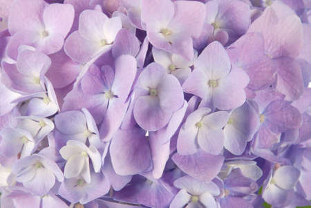 Beautiful purple hydrangeas flower background. Natural color.