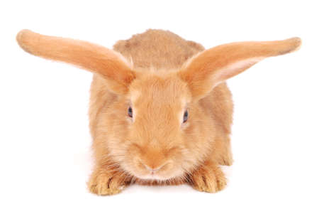 Little orange rabbit isolated on white background