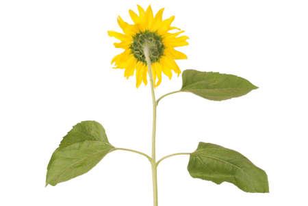 sepals: Beautiful yellow sunflower turn back isolated on white