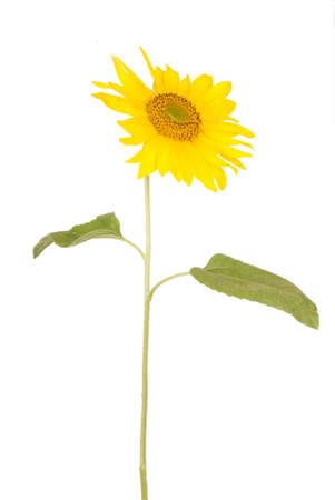 facing right: Beautiful yellow sunflower facing to the right isolated on white