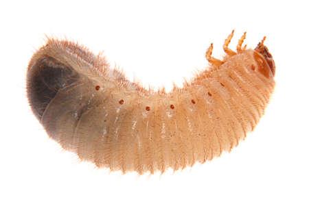 コックチャファーの幼虫。白で隔離された5月の幼虫。