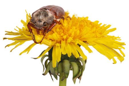 may bug on dandelion isolated on white Stock Photo