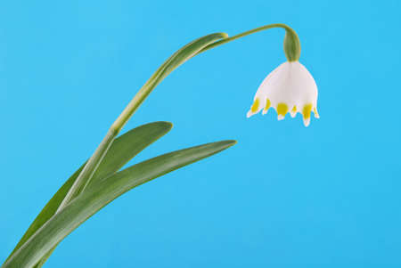 isolated snowdrop on blue - clipping path included