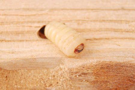 Larva bark beetle (Scolytinae). Larva of Bark beetles legless in his burrow on wood background.